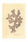 Rose Lace Coral, Stylaster Roseus Giclee Print by Frederick Nodder