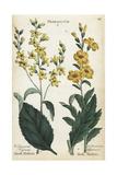 Black Mullein, Verbascum Nigrum, and Moth Mullein, V Blattaria Giclee Print