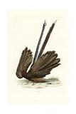 Great Argus, Argusianus Argus Giclee Print by Edouard Travies