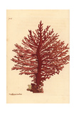 Red African Gorgonian Coral, Gorgonia Pinnata Giclee Print by Richard Nodder