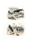Raven, Jackdaw and Magpie Giclee Print by Edouard Travies