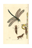 Brown Hawker Dragonfly, Aeshna Grandis Giclee Print by Richard Nodder