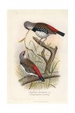 Diamond Firetail, Stagonopleura Guttata Giclee Print by Frederick William Frohawk