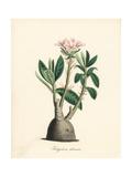 Pachypodium Succulentum Cactus Giclee Print by M.A. Burnett