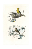 Golden Oriole and Song Thrush Giclee Print by Edouard Travies