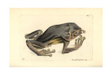 Giant Leaf Frog, Phyllomedusa Bicolor Giclee Print by Richard Nodder