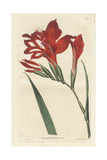 Superb Corn-Flag, Gladiolus Cardinalis Giclee Print by Sydenham Edwards