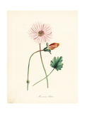 Broad-Leaved Monsonia, Monsonia Lobata Giclee Print by M.A. Burnett