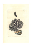 Lace Coral, Distichopora Violacea Giclee Print by Richard Nodder
