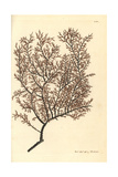Myriopathes Myriophylla Giclee Print by Frederick Nodder