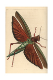 Giant Red-Winged Grasshopper, Tropidacris Cristata Dux Giclee Print by Richard Nodder