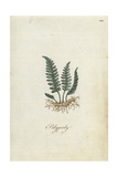 Polypody Fern, Polypodium Officinalis Giclee Print