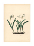 Snowdrop, Galanthus Nivalis Giclee Print by M.A. Burnett