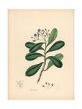 Canella or Wild Cinnamon, Canella Winterana Giclee Print by M.A. Burnett