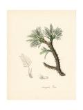 True Astragalus, Astragalus Verus Giclee Print by M.A. Burnett