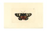 Episteme Moth, Episteme Lectrix Szechuanensis Giclee Print by George Shaw