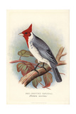 Red-Crested Cardinal, Paroaria Coronata Giclee Print by Frederick William Frohawk