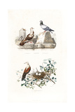 French Mondain and Cravate Pigeons, and Turtle Dove Giclee Print by Edouard Travies