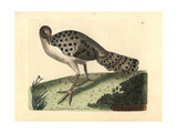 Gray Peacock-Pheasant, Polyplectron Bicalcaratum Giclee Print by Richard Nodder