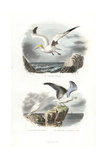 Northern Gannet, Ivory Gull and European Herring Gull Giclee Print by Edouard Travies
