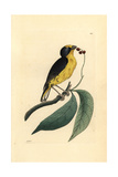 Violaceous Euphonia, Euphonia Violacea Giclee Print by Richard Nodder
