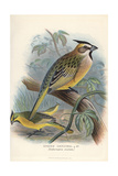 Yellow Cardinal, Gubernatrix Cristata Giclee Print by Frederick William Frohawk