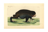 Giant Burrowing Frog, Heleioporus Australiacus Giclee Print by George Shaw