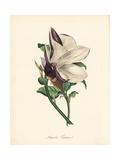 Purple Magnolia, Magnolia Liliiflora Giclee Print by M.A. Burnett