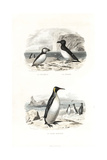 Puffin, Razorbill and King Penguin Giclee Print by Edouard Travies