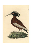 White-Winged Ibis, Lophotibis Cristata Giclee Print by Richard Nodder