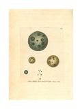 Common Globe Animal, Volvox Globator Giclee Print by George Shaw
