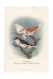 Bengalee or Bengalese Hybrid Finch Giclee Print by Frederick William Frohawk