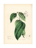 True Cinnamon Tree, Cinnamomum Verum Giclee Print by M.A. Burnett