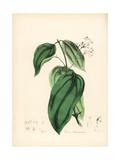 True Cinnamon Tree, Cinnamomum Verum Giclee Print by M.A. Burnett