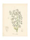 Mahogany Tree, Soymida Febrifuga Giclee Print by M.A. Burnett