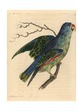 Blue-Rumped Parrot, Psittinus Cyanurus Near Threatened Giclee Print by Richard Nodder