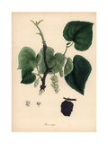 Common Mulberry Tree, Morus Nigra Giclee Print by M.A. Burnett