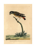 Spotted Pardalote, Pardalotus Punctatus Giclee Print by Frederick Nodder