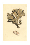 Greater Horn Wrack Seaweed, Flustra Foliacea Giclee Print by Frederick Nodder