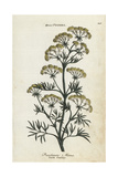 Rock Parsley, Peucedanum Minus Giclee Print