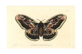 Great Peacock Moth, Saturnia Pyri Giclee Print by Richard Nodder