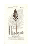Sensitive Fern, Onoclea Sensibilis Giclee Print by Pierre Turpin