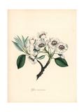 European Pear, Pyrus Communis Giclee Print by M.A. Burnett