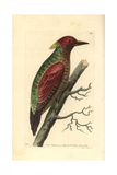 Crimson Winged Woodpecker, Picus Puniceus Giclee Print by Richard Nodder