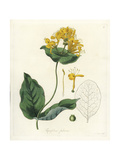 Hairy Honeysuckle, Lonicera Hirsuta Giclee Print by William Jackson Hooker
