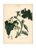 Squirting Cucumber or Exploding Cucumber, Ecballium Elaterium Giclee Print by M.A. Burnett