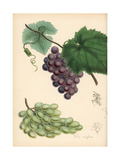 Grapes, Vitis Vinifera Giclee Print by M.A. Burnett