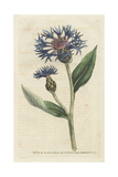 Greater Blue Bottle or Perennial Cornflower, Centaurea Montana Giclee Print by James Sowerby