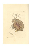 Water Flea, Daphnia Pulex Giclee Print by George Shaw