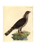 Ornate Hawk-Eagle from Shaw and Nodder's Naturalist's Miscellan Giclee Print by Richard Nodder